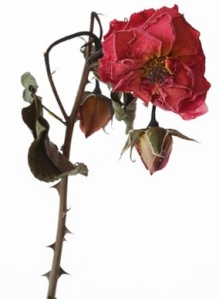 rose2-thumb-285x387