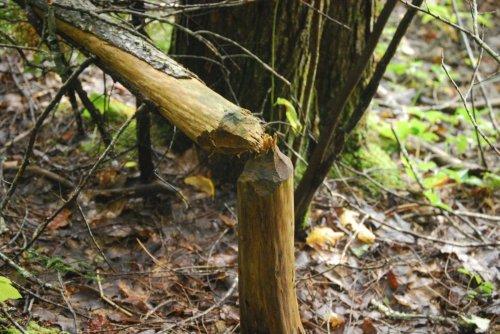 beaver-cut-742551